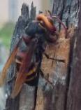 スズメバチがきた!